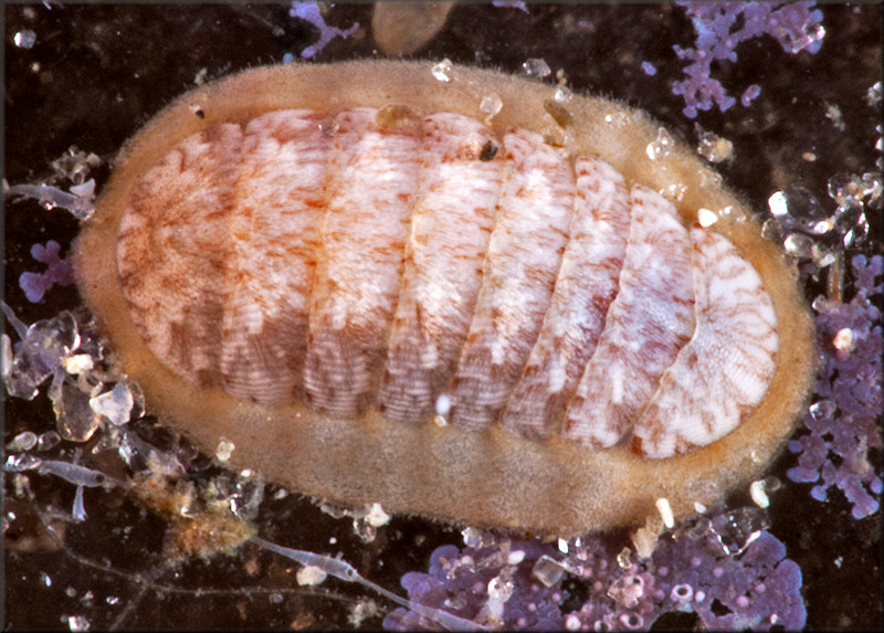 Ischnochiton hartmeyeri Thiele, 1910 Multiringed Chiton