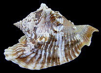 Lobatus raninus (Gmelin, 1791) Hawkwing Conch