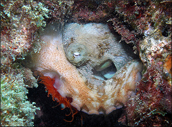 Ctenoides scaber (Born, 1778) Rough Fileclam Being Devoured By Octopus