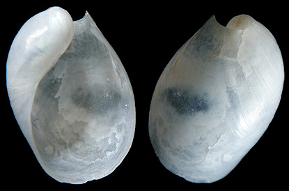 Oxynoe antillarum Mørch,1863 Antilles Oxynoe Internal Shell