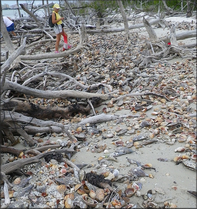 Shell Pile On The Beach, North Kice Island, Collier County, Florida (1/19/2013)