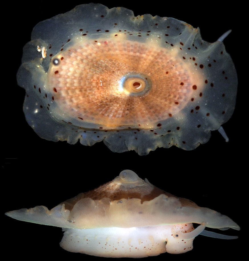 Lucapina aegis (Reeve, 1850) Shield Fleshy Limpet