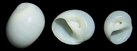 Polinices uberinus (d'Orbigny, 1842) White Moonsnail