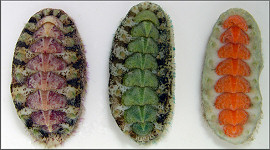 Acanthochitona pygmaea (Pilsbry, 1893) Striate Glass-hair Chiton