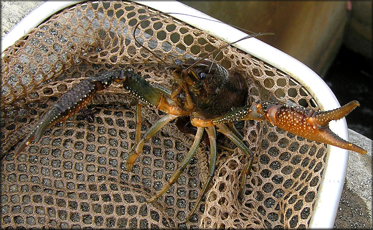 Unidentified Crayfish Species - Possibly Procambarus fallax