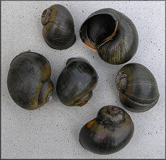 Pomacea paludosa (Say, 1829) Found Along The Shoreline