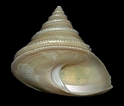 Calliostoma schroederi Clench and Aguayo, 1938