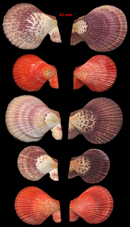 Caribachlamys sentis (Reeve, 1853) Scaly Scallop