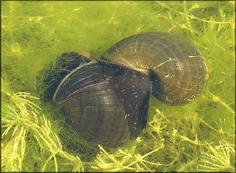 Pomacea paludosa At The Lake Mating (4/14/2006) [Male On The Right]