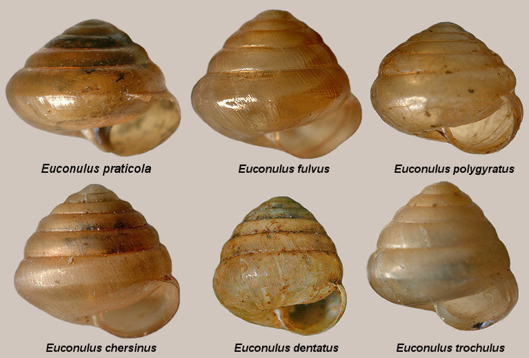 The Six Euconulus Species Of The Eastern United States