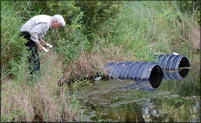 Harry Lee searches for live Pomacea maculata