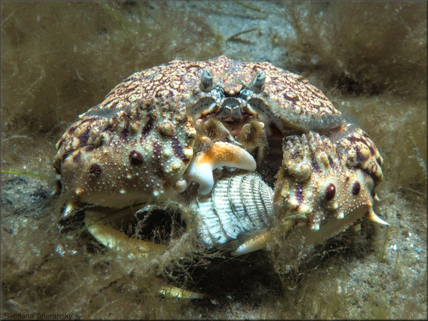 Chione elevata (Say, 1822) being devoured by a Calappa flammea (Herbst, 1794) Flamed Box Crab