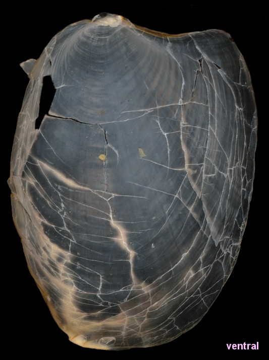 Syphonota geographica (A. Adams and Reeve, 1850)  Internal Shell