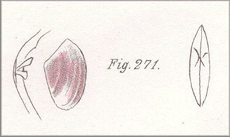 Angulus versicolor (De Kay, 1843) Many-colored Tellin