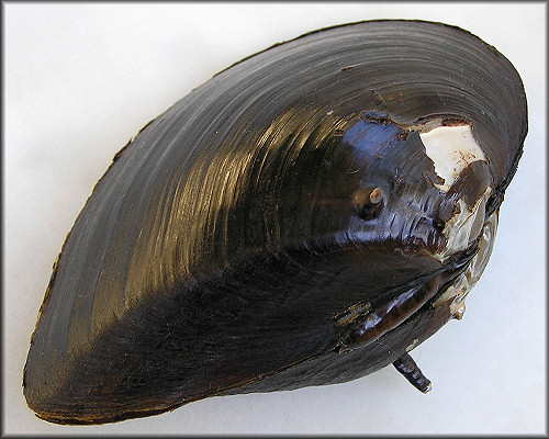 Canthyria spinosa (I. Lea, 1836) Altamaha Spinymussel