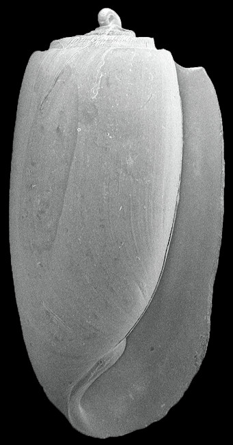 Acteocina species Fossil