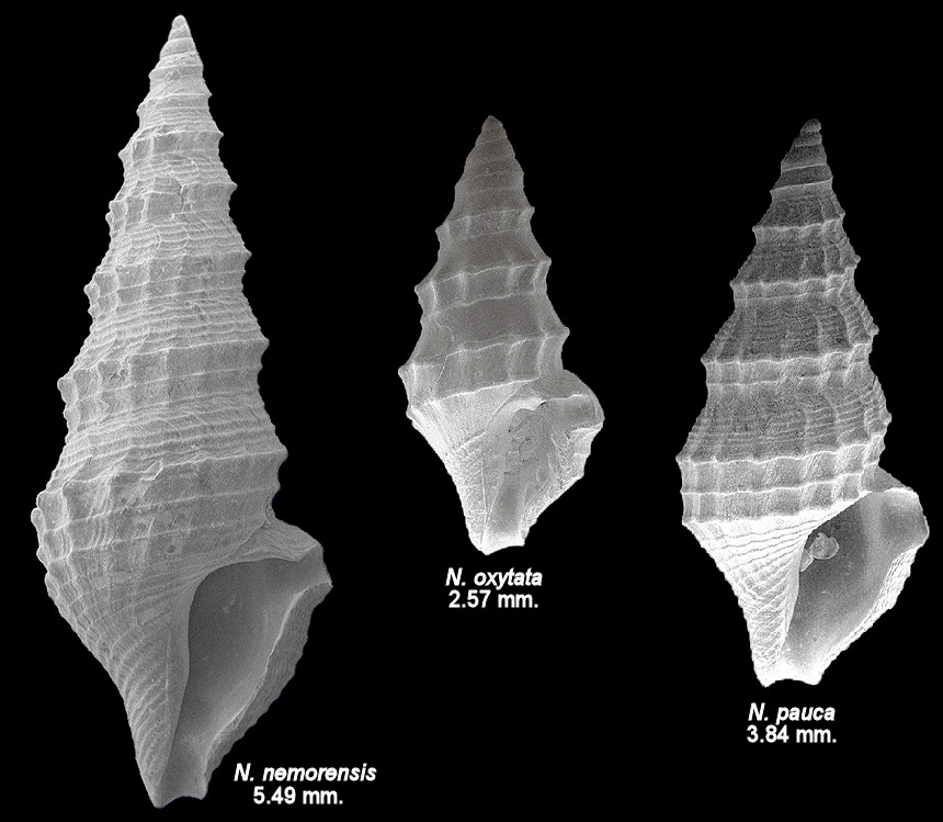 Comparison of Nannodiella nemorensis, N. oxytata and N. pauca