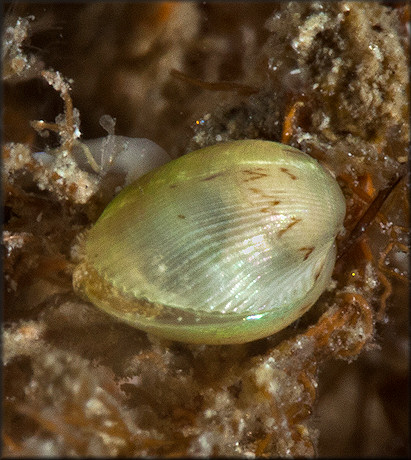 Musculus lateralis (Say, 1822) Lateral Mussel