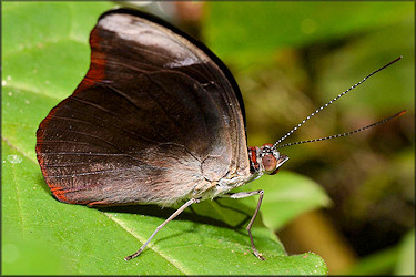 Catonephele orites Orange-banded Shoemaker Male