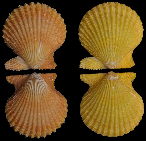 Aequipecten muscosus (W. Wood, 1828) Rough Scallop