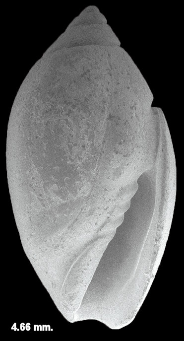 Olivella species cf. O. pugilis Olsson and Harbison, 1953 Fossil