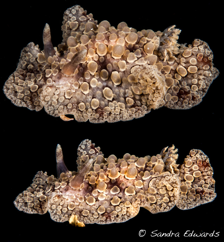 Carminodoris species (undescribed)