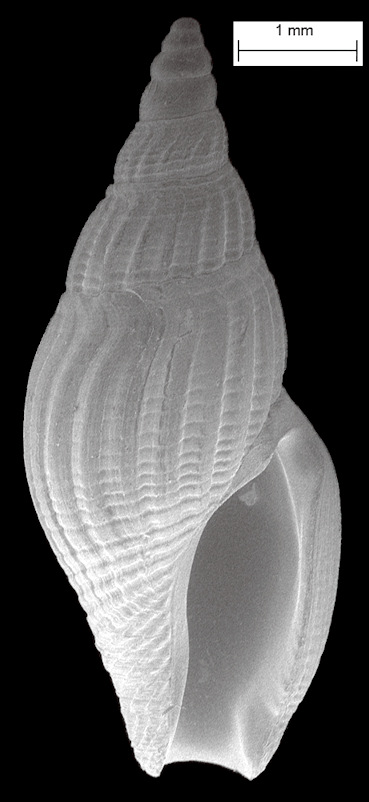 Thelecythara wieserae (Mansfield, 1930) [new combination] Fossil
