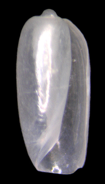 Tornatina inconspicua (Olsson and McGinty, 1958) Slender Barrel-bubble