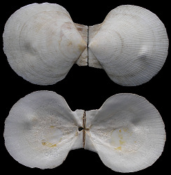 Placopecten magellanicus (Gmelin, 1791) Sea Scallop